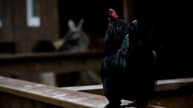 Cock. The rooster crows video