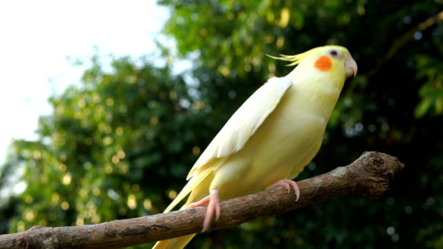 Cockatiel Singing and dancing video