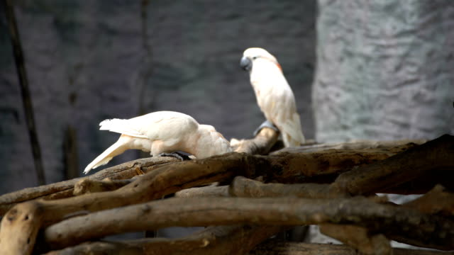 Cockatoo birds. video