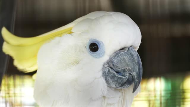 Cockatoo close up