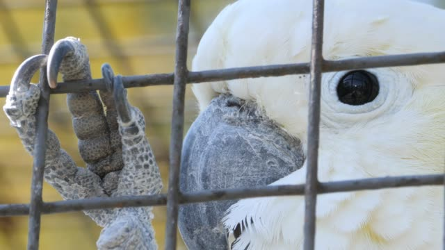 Cockatoo parrot head- close up Close up of head of a cockatoo parrot looking right and then turning toward the camera. The enclosure fence is in the foreground. prison bars stock videos & royalty-free footage