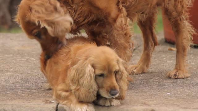 コッカー犬のカップル 24p (hd - 動物の行動点の映像素材/bロール
