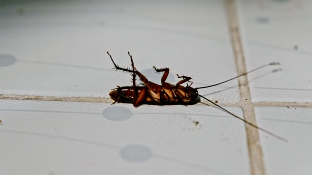 Cockroach lying overturn and cat poking