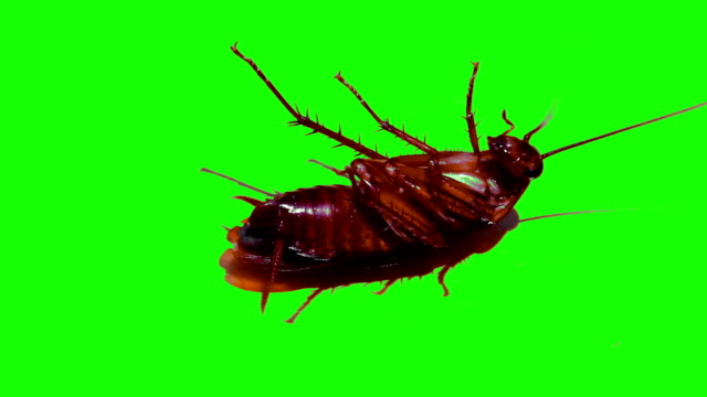 Cockroaches on isolated green screen video