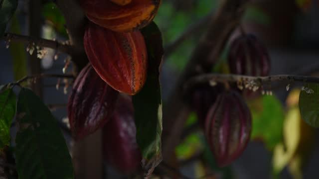 frutti di cacao appendere sull'albero e in movimento dal vento - theobroma video stock e b–roll
