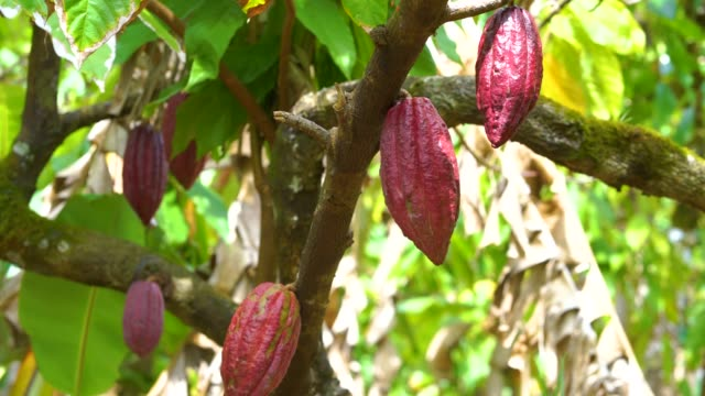 vídeos de stock e filmes b-roll de cocoa tree with beautiful dark red pods, fresh, organic and healthy cocoa fruit in 4k - fruto do cacau