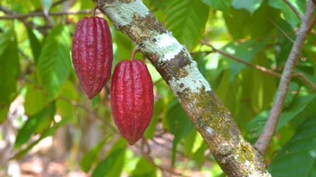 vídeos de stock e filmes b-roll de cocoa tree with beautiful dark red pods, fresh, organic and healthy cocoa fruit in 4k - cacau em pó