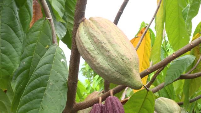 vídeos de stock e filmes b-roll de cocoa tree with fruit - cacau em pó