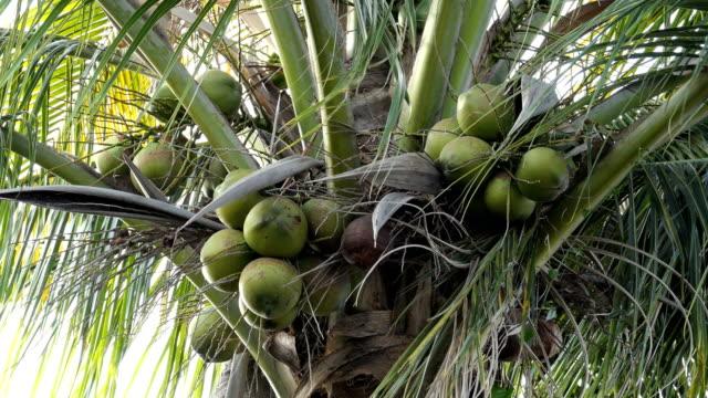 vídeos de stock e filmes b-roll de coconut at tree - oleo palma