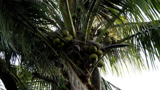 Coconut at Tree Close Up a Bunch of Green Coconut at Tree coconut palm tree stock videos & royalty-free footage