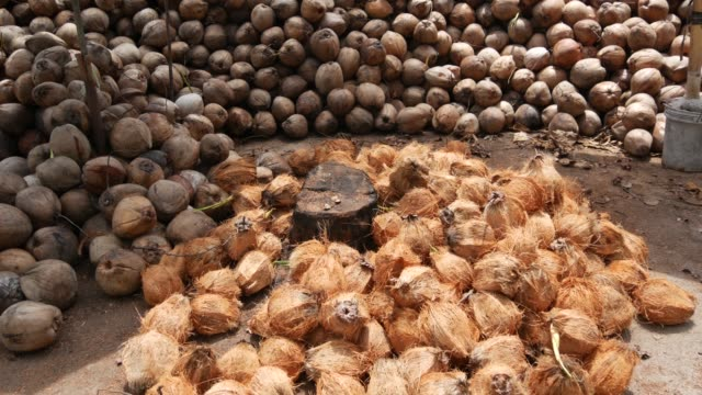 Coconut farm with nuts ready for oil and pulp production. Large piles of ripe sorted coconuts. Paradise Samui tropical island in Thailand. Traditional asian agriculture.
