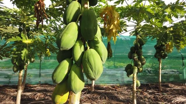 vidéos et rushes de plantation de fruits de coco - vanille