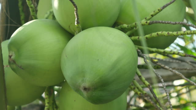 coconut fruits on tree - кокос стоковые видео и кадры b-roll