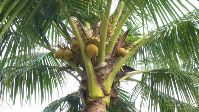Coconut in the garden Close-up coconut in the garden coconut palm tree stock videos & royalty-free footage