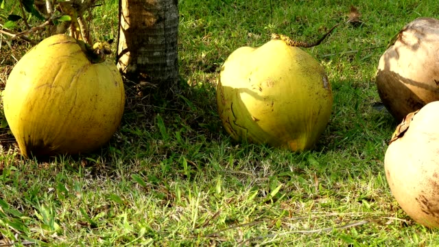 Coconut in the garden Relax in the resort located in Prachuap Khiri Khan province, south of Thailand. coconut palm tree stock videos & royalty-free footage