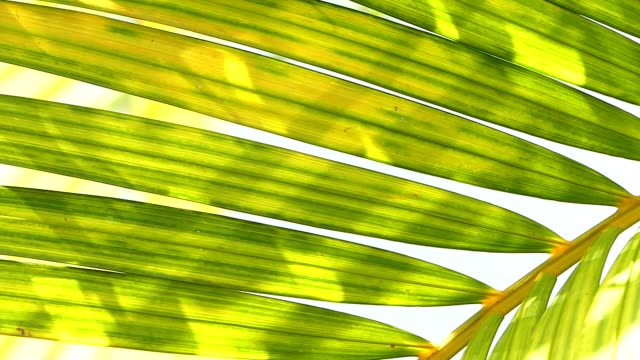 Coconut leaves blowing in the wind