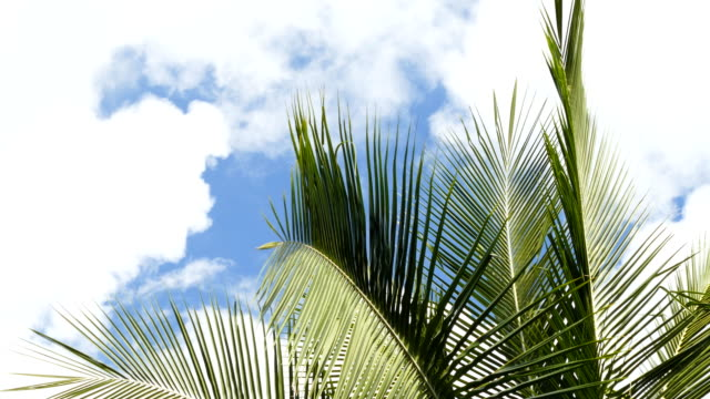coconut palm leaves on blue sky and white clouds video
