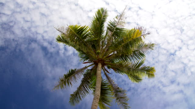 Coconut palm tree against blue sky Coconut palm tree against blue sky with white clouds coconut palm tree stock videos & royalty-free footage