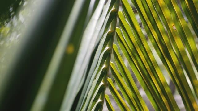 vidéos et rushes de balançoire de feuille de palmier de coco sur le vent se ferment vers le haut - tige d'une plante