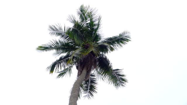 vídeos de stock e filmes b-roll de coconut palm tree - oscilar