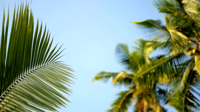 Coconut palm trees crowns against blue sunny sky perspective view from the ground. video