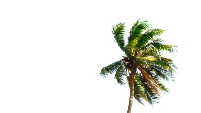 vídeos de stock e filmes b-roll de coconut palm trees - oscilar