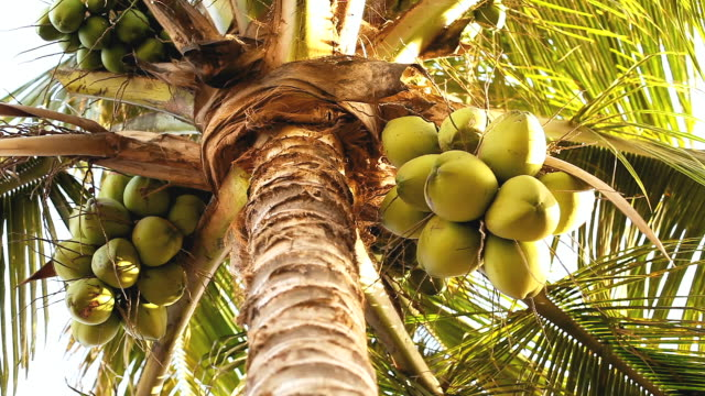 Coconut palm trees Low angle view of coconut palm trees coconut palm tree stock videos & royalty-free footage