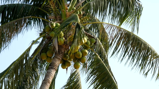 Coconut palms with green coconuts on palm tree video
