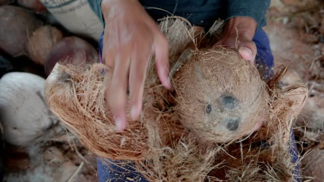 Coconut peeling a man peeling coconut husk.thai style traditional.a man peeling coconut husk.thai style traditional. coconut stock videos & royalty-free footage