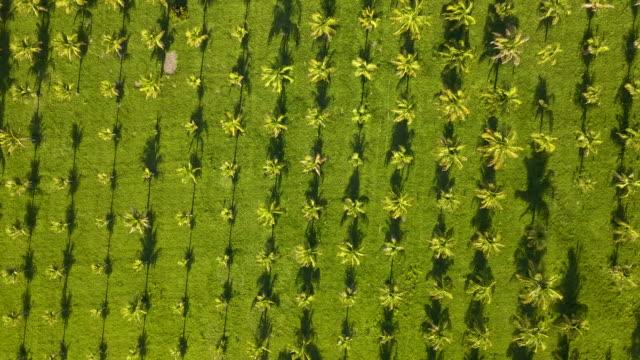 Coconut plantation in southeastern Brazil. Birds eye Coconut plantation in southeastern Brazil. Birds eye. coconut palm tree stock videos & royalty-free footage