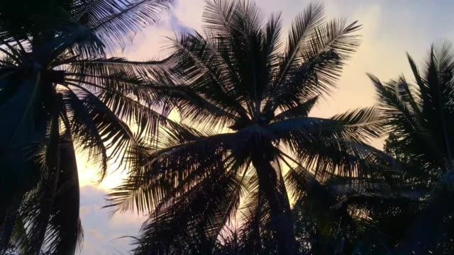 Coconut tree blowing in the wind video