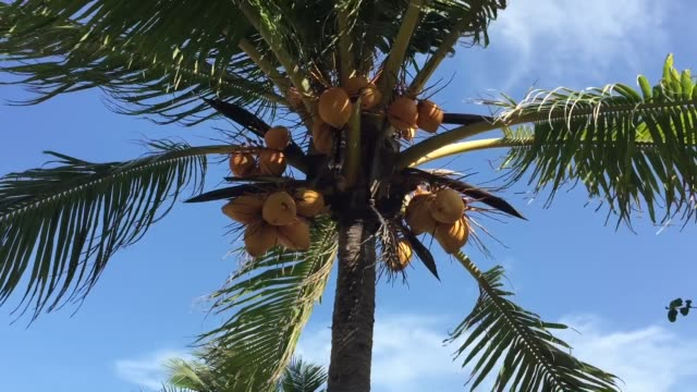 Coconut tree Coconut fruits on tree coconut palm tree stock videos & royalty-free footage