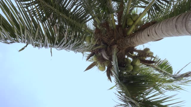 Coconut tree with blue sky Coconut tree with blue sky coconut palm tree stock videos & royalty-free footage