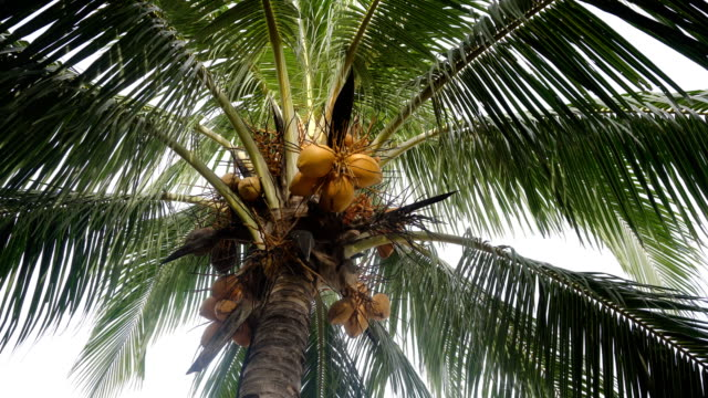 Coconut tree with coconuts Green coconut at tree. Coconuts on a palm tree on a sunny day.4K video. coconut palm tree stock videos & royalty-free footage