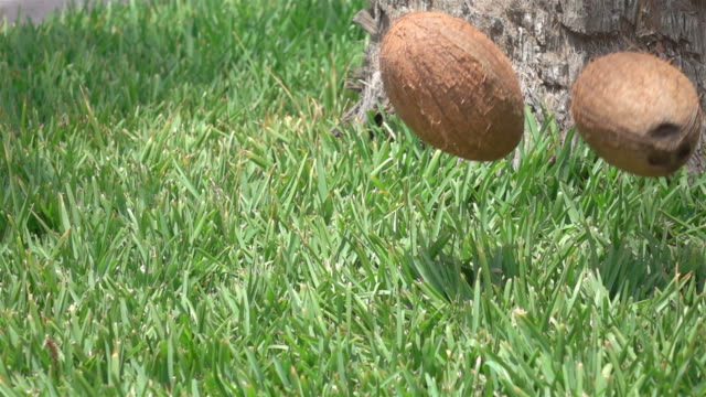 Coconuts falling on the grass in slow motion