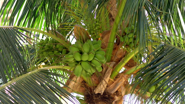 Coconuts growing on the palm tree in 4k slow motion 60fps