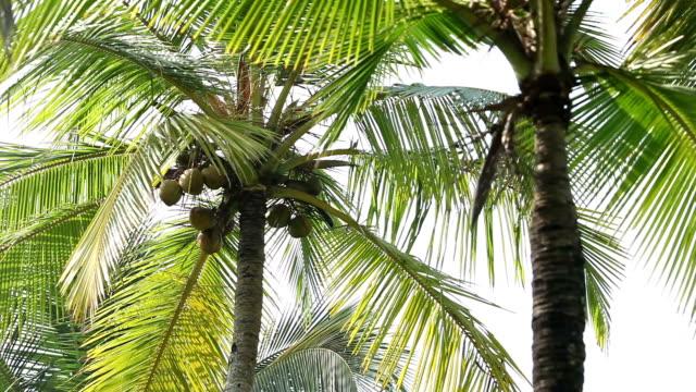 noci di cocco su una palma - cespuglio tropicale video stock e b–roll