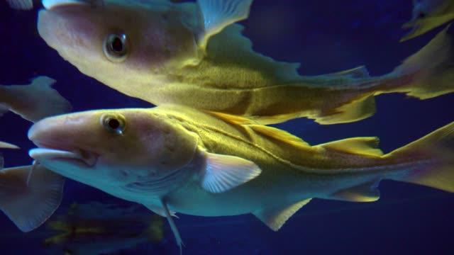 vídeos de stock e filmes b-roll de cod fish in aquarium. 4k - bacalhau