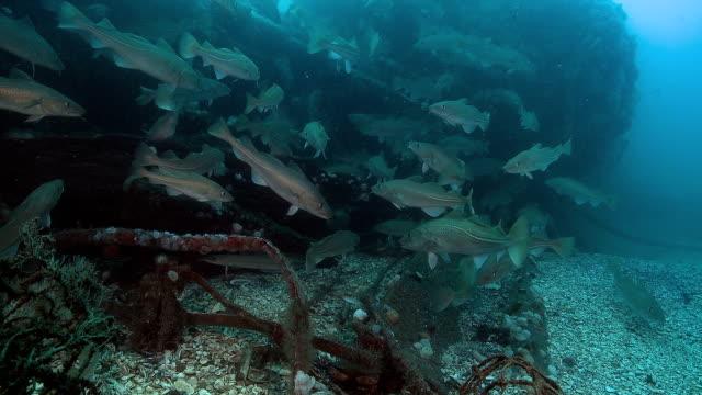 vídeos de stock e filmes b-roll de bacalhau - bacalhau