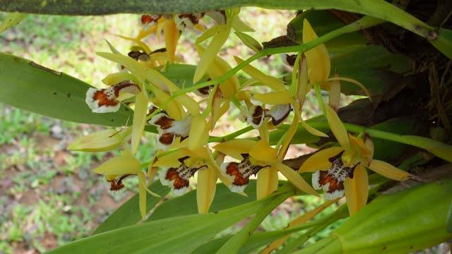 Coelogyne lentiginosa Orchid