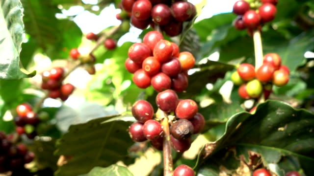 Coffee bean on tree Tracking camera slow motion video