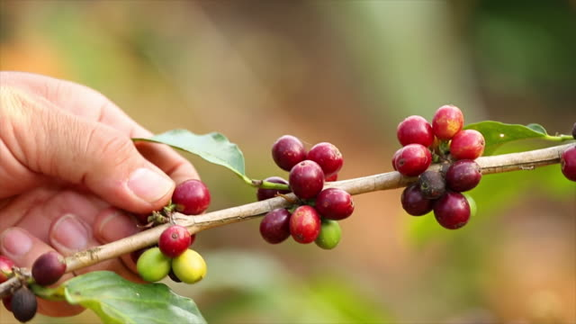 Coffee bean. Coffee bean. plantation stock videos & royalty-free footage