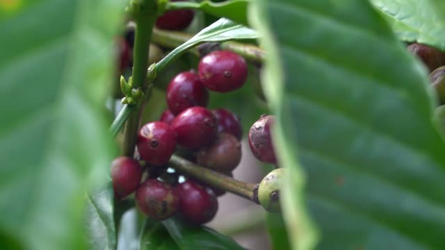 coffee beans and trees - colore ciliegia video stock e b–roll