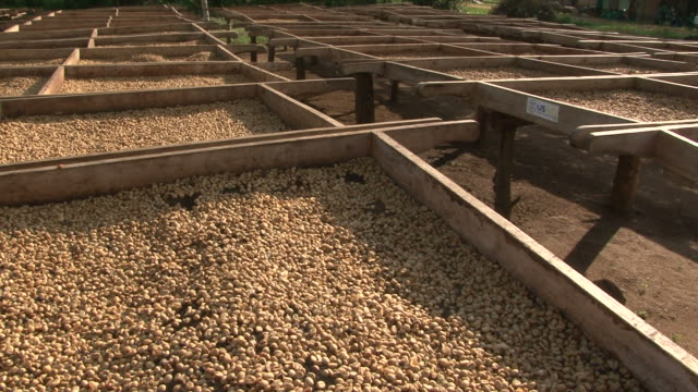 Coffee beans drying in the sun at Fairtrade plantation video