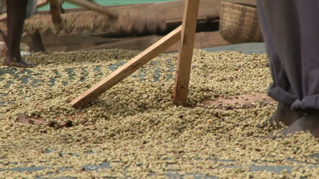 Coffee beans drying in the sun; man manually sorting coffeebeans video