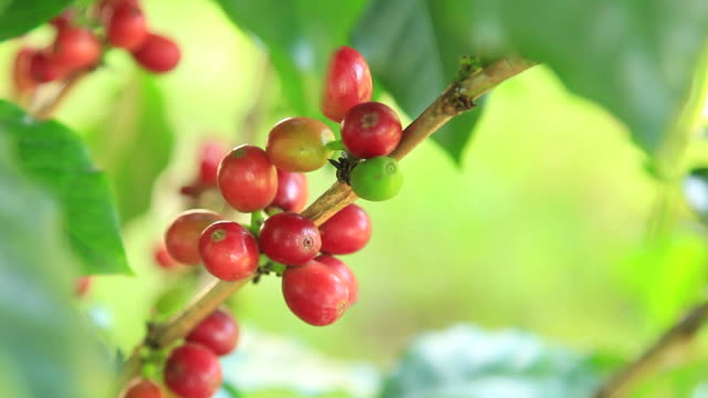 Coffee Beans moving gently in the wind video