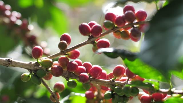 Coffee cherry in coffee farm Coffee cherry in coffee farm cherry stock videos & royalty-free footage