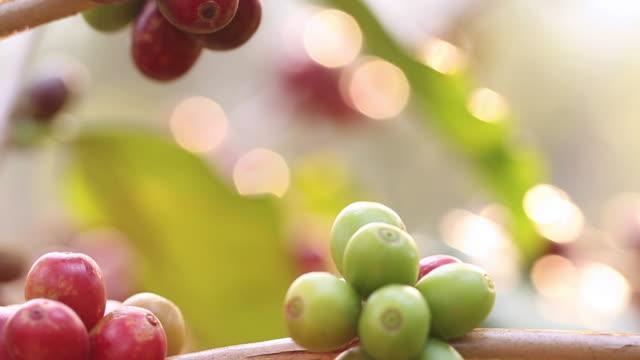 Coffee Crop video