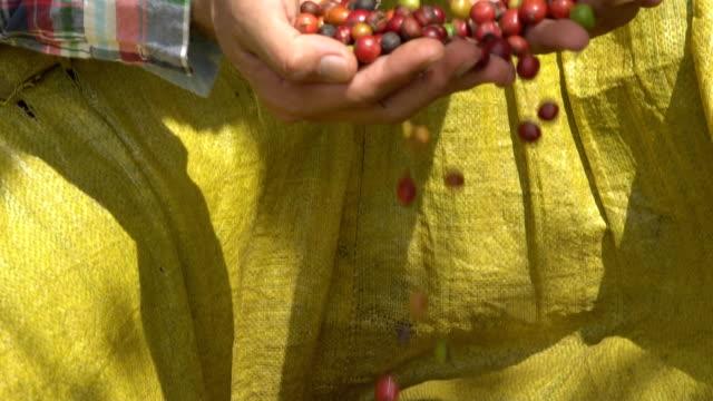 kaffee-bauern pflücken kirschen reif robusta-kaffee auf kaffeebaum. - geröstete kaffeebohne stock-videos und b-roll-filmmaterial