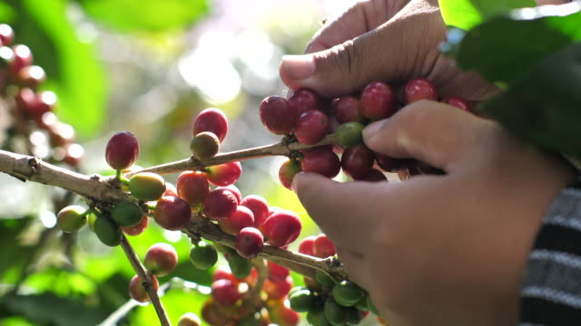 coffee farmer softly picks the ripe coffee cherries from a coffee tree on his farm coffee farmer softly picks the ripe coffee cherries from a coffee tree on his farm coffee stock videos & royalty-free footage